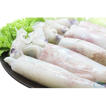 Whole Round Squid – On Land